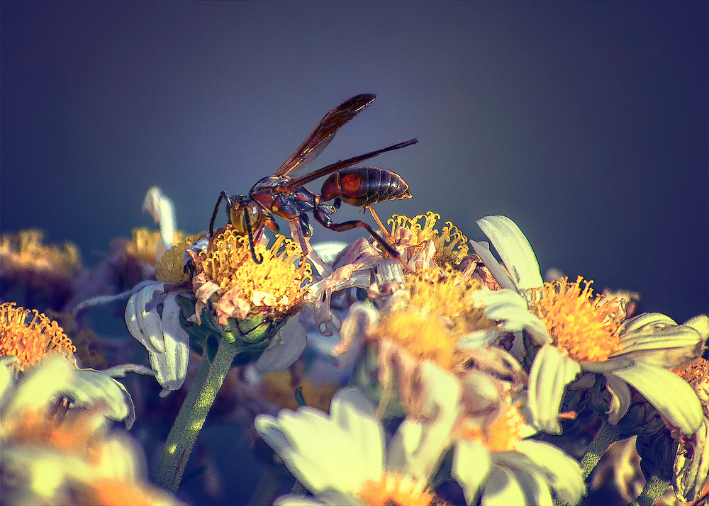 A Wasp lands on my withering daisies in hunt for some nourishment.