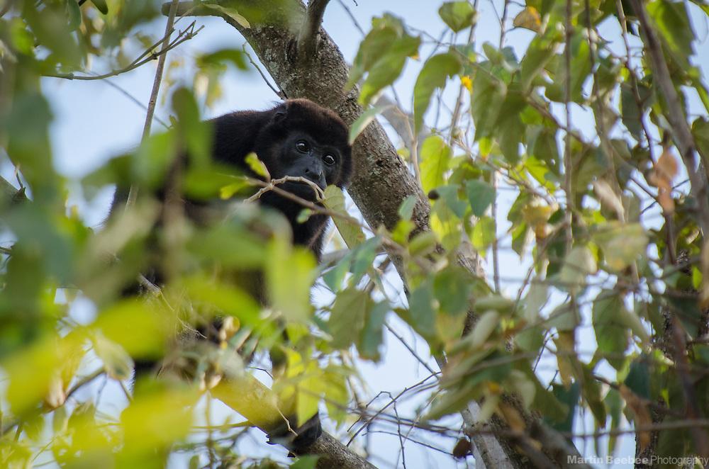 Mantled Howler Monkey (Alouatta palliata), Playa Grande, Guanacaste, Costa Rica
