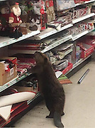 """Beaver Spotted In Supermarket Looking For An Artificial Christmas Tree<br /> <br /> If you think Christmas shopping is just for humans, think again, cause this beaver looking for a perfect Christmas tree at a dollar shop will prove you wrong! On Monday morning, the animal walked right in through the front door of a store in Charlotte Hall, Maryland. He went straight to the Christmas aisle before moving on to the festive decoration section St. Mary's County Sheriff Office said they received a call about the destructive customer and was asked to call animal care. """"Corporal Yingling had an interesting call on Monday when the suspect, pictured below, caused property damage to a dollar store in Charlotte Hall,""""<br /> """"The suspect attempted to flee the area but was apprehended by Animal Control… As a law enforcement officer, you just never know what you're next call might be,"""" the sheriff's department said. <br /> © St Mary's Sheriff/Exclusivepix Media"""