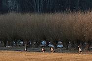 Wawayanda, New York - Wild turkeys trot along a farm field on March 22, 2015.