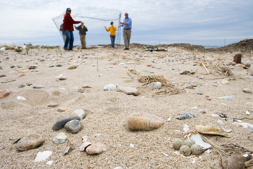 """Volunteers build and """"exclosure"""" for a piping plover nest on the beach at Griswold Point in Old Lyme, Connecticut.  Nature Conservancy Preserve."""