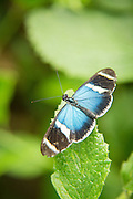 Heliconius Butterfly (captive) , Mashpi Reserve, Ecuador, South America