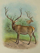 Altai wapiti (Cervus canadensis sibiricus), from the book ' The deer of all lands : a history of the family Cervidae, living and extinct ' by Richard Lydekker, Published in London by Ward 1898