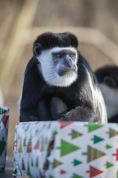 © London News Pictures. 17/12/2012. Kent , UK. An Eastern Black and White Colobus monkey enjoying its early Christmas treats at Port Lympne Wild Animal Park in Kent. The Howletts and Port Lympne wild animal, safari and wildlife parks are the UK based sites for endangered animal conservation. Picture credit should read Manu Palomeque/LNP