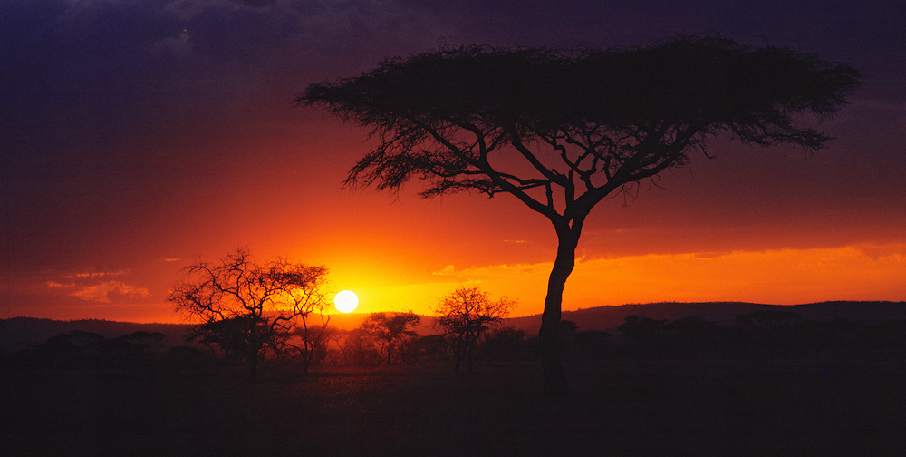 A graceful acacia tree is silhouetted by the sunset at Serengeti National Park, Tanzania.