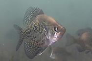 Black Crappie<br /> <br /> Roger Peterson/Engbretson Underwater Photography