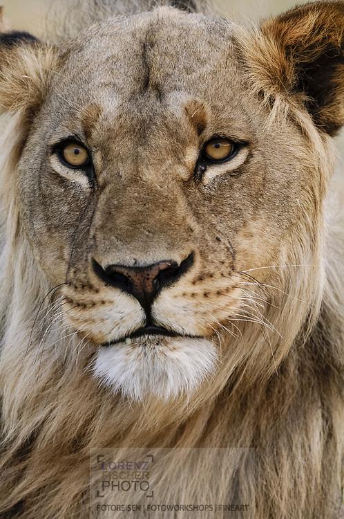 Impressionen von Löwen im Moremi Game Reserve in der Region North Gate.