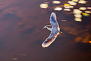 A Yellow-crowned Night Heron (Nyctanassa violacea) flying over a pond in the Shark Valley section of Everglades National Park, Florida. WATERMARKS WILL NOT APPEAR ON PRINTS OR LICENSED IMAGES.<br /> <br /> Licensing: https://tandemstock.com/assets/82512957