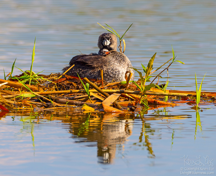 A pied-billed grebe (Podilymbus podiceps) snuggles with one of her chicks on their nest on a pond in the Union Bay Natural Area, Seattle, Washington.