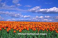 67221-00811 Orange tulips in field  Skagit Valley  WA