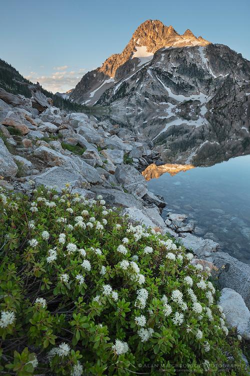 Trapper's Tea (Ledum glandulosum) growing amid boulder field on edge of Sawtooth, Lake Sawtooth Mountains Idaho