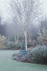 The white bark of Betula utilis var. jacquemontii on a frosty morning in winter. Silver birch. Design: John Massey, Ashwood Nurseries