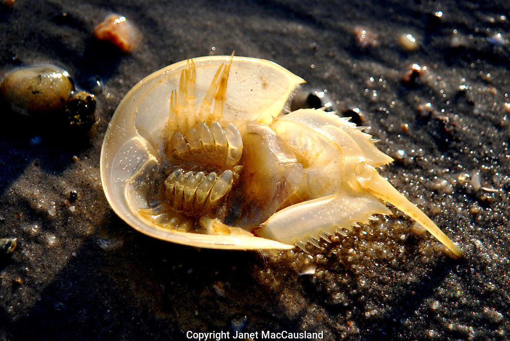The small, discarded molt or shell of a Horseshoe Crab (Limulus Polyphemus) is a delicate find on a Cape Cod Beach. It is transparent, with no animal inside. A Horseshoe crab is an arthropod related to Arachnid such as  scorpions and the spider family. It is an ancient animal which people have threatened. They are harmless and beneficial in the medical sciences in detecting bacterial endotoxins. Refer to my DELMARVA gallery for more information and images.