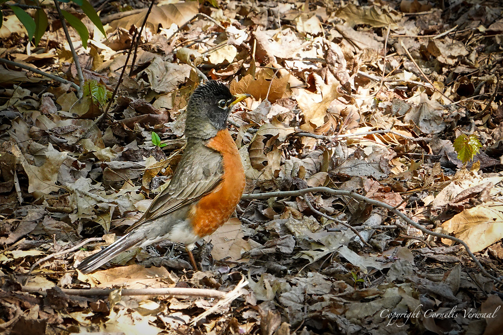 A watchful American Robin in The Ramble of Central Park