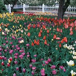 Portsmouth, NH..Tulips in Prescott Park.