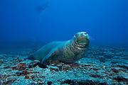 Hawaiian monk seal ( Neomonachus schauinslandi ) male ( critically endangered species, endemic to Hawaii ), Lehua Rock, near Niihau, off Kauai, Hawaiian Islands ( Central Pacific Ocean )