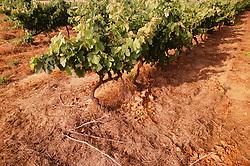 July 21, 2019 - Grape Vines (Credit Image: © Bilderbuch/Design Pics via ZUMA Wire)