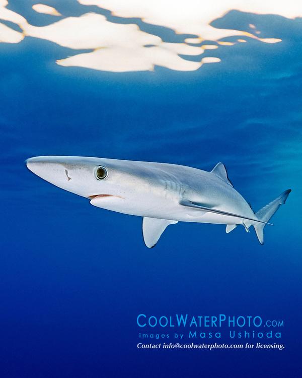 blue shark, Prionace glauca, juvenile, offshore, San Diego, California, USA, Pacific Ocean