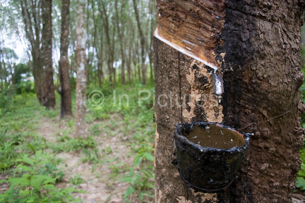 Rubber plantation and processing on the east coast of Koh Lanta. Rubber is a very important commodity in South East Asia, having been introduced in the late 1800's. Rubber plants can be seen all over this region in Southern Thailand, and in profusion here on Koh Lanta.