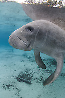 Florida manatee, Trichechus manatus latirostris, a subspecies of the West Indian manatee, endangered. A curious manatee floats and looks out at the viewer. It is a cool winter day but this manatee is staying warm in the freshwater springs. Vertical orientation with blue water. Three Sisters Springs, Crystal River National Wildlife Refuge, Kings Bay, Crystal River, Citrus County, Florida USA.