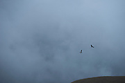 Andean condor (Vultur gryphus) & Antisana Volcano <br /> 5,753 meters high or 18,874 ft<br /> Avenue of the Volcanoes<br /> Cordillera Real, Andes<br /> Condor Bioreserve as part of the Antisana Ecological Reserve<br /> ECUADOR, South America<br /> Last erupted between 1801 and 1802