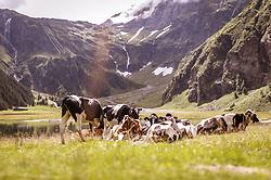 THEMENBILD - Kühe auf einer Weide am Hintersee, aufgenommen am 08. August 2019 in Mittersill, Österreich // cows on a pasture at the Hintersee, Mittersill, Austria on 2019/08/08. EXPA Pictures © 2019, PhotoCredit: EXPA/ JFK