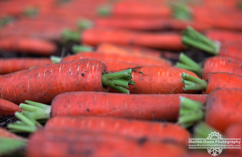 Carrots air drying in Kodiak, Alaska garden