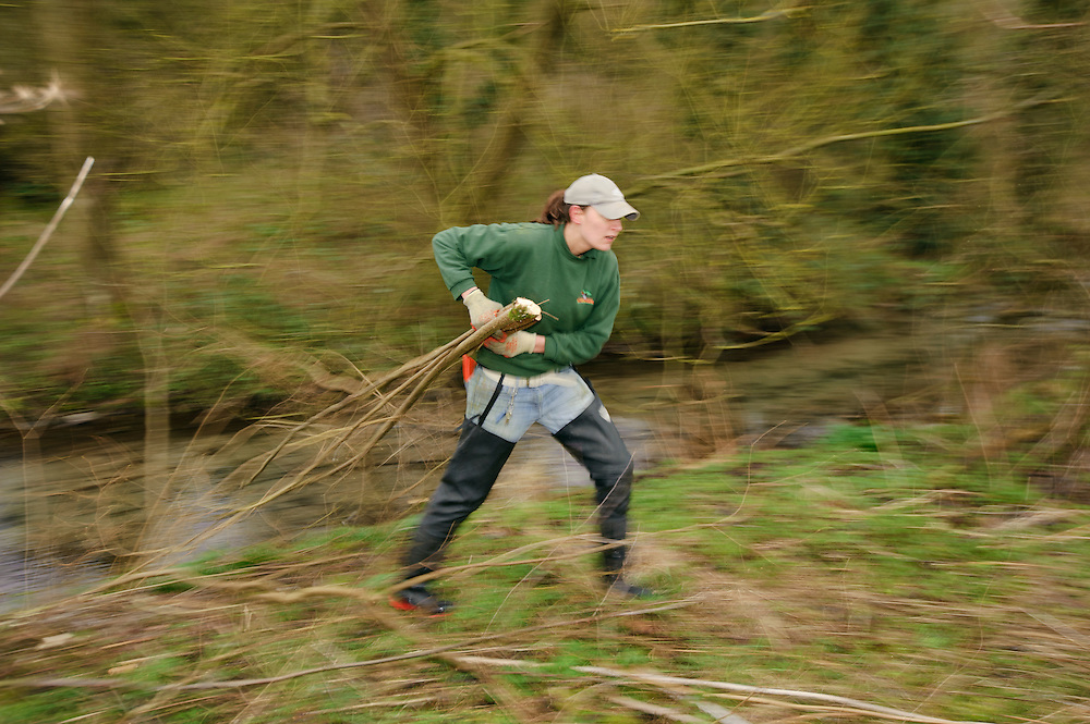 A team of staff and volunteers from The Wildwoood Trust improve water vole habitat on a stream in Kent by cutting trees to allow growth of bankside vegetation. Wildwood Conservation Officer Vicky Johnson.