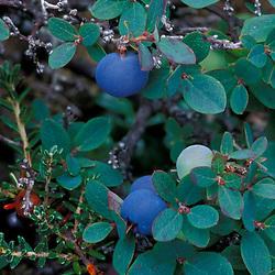 White Mountain N.F., NH.Bog bilberry, vaccinium uliginosum, with fruit on Mt. Washington..