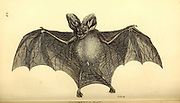 Bat from General zoology, or, Systematic natural history Part I, by Shaw, George, 1751-1813; Stephens, James Francis, 1792-1853; Heath, Charles, 1785-1848, engraver; Griffith, Mrs., engraver; Chappelow. Copperplate Printed in London in 1800. Probably the artists never saw a live specimen