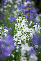 Polemonium caeruleum 'Blue Pearl' and 'White Pearl' mix. Jacob's ladder