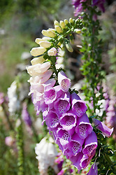 View of foxglove in Bavarian Forest