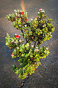Lehua plant in the Kilauea Iki caldera, Hawaii Volcanoes National Park, Hawaii USA