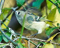 Ruby-crowned Kinglet (Regulus calendula). Image taken with a Nikon D200 camera and 80-400 mm VR lens.