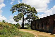Ceiba tree in San Miguel de los Banos, Matanzas, Cuba.