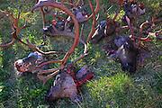 Slaughtering season, Gåbrien Sijte, Brekken in Mid-Norway. Traditionally the sami peaple use everything on the animal.