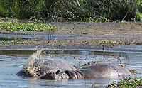 Two Hippopotamuses, Hippopotamus amphibius, cool off by using their tails to splash water over their backs while lying in a shallow pond in Ngorongoro Crater, Ngorongoro Conservation Area, Tanzania