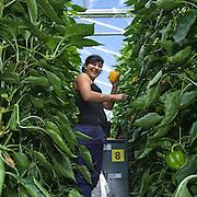 September 2009 20090901 ..Een poolse arbeider plukt paprika's in kas. .A polish woman worker at work in greenhouse, immigration.                               ..Foto: David Rozing