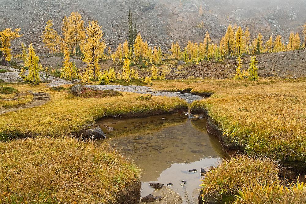 Alpine larches (Larix lyallii) turn yellow below Hart's Pass, Alpine Lakes Wilderness, Washington.