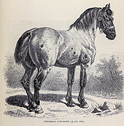 The Percheron is a breed of draft horse that originated in the Huisne river valley in western France, part of the former Perche province from which the breed takes its name. Usually gray or black in color, Percherons are well muscled, and known for their intelligence and willingness to work. From the book ' Royal Natural History ' Volume 2 Edited by Richard Lydekker, Published in London by Frederick Warne & Co in 1893-1894