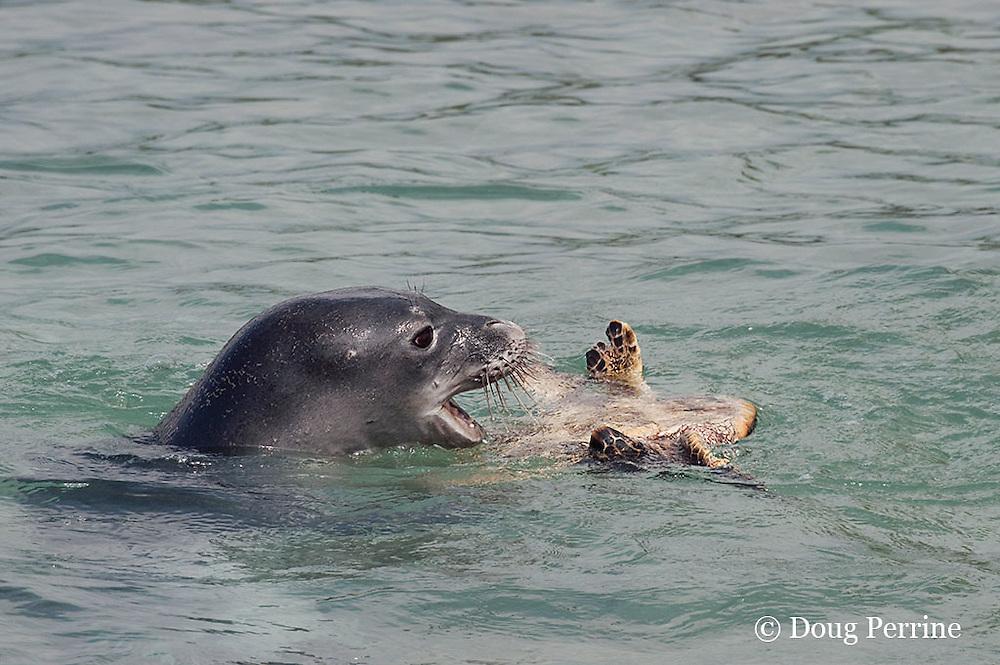 Hawaiian monk seal, Monachus schauinslandi, 2.5 year old male playing with unwilling small green sea turtle or honu, Chelonia mydas, Pu'uhonua o Honaunau ( City of Refuge ) National Historical Park, Kona, Hawaii ( Big Island ) Hawaiian Islands, U.S.A. ( Central Pacific Ocean )