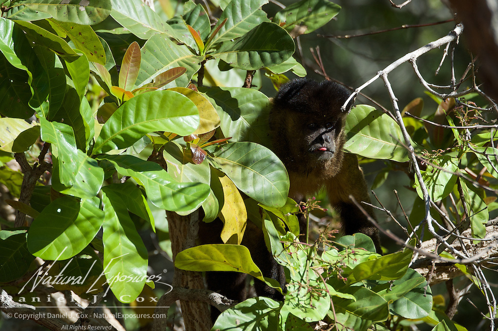 Tufted Capuchin, foraging, Parnaiba Headwaters National Park, Brazil.