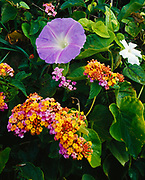 Pohuehue or Seaside Morning Glory and Lantana blooming along Puna Coast, Big Island of Hawaii.