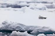 Snow petrel resting on an iceberg near the coast of Peter 1 Øy, Phantom Coast, Western Antarctica