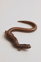 California slender salamander, Batrachoseps attenuatus.  Alameda County, California