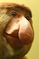 Proboscis Monkey in the Australian Museum, a natural history museum in Sydney. The proboscis monkey is an endangered species.