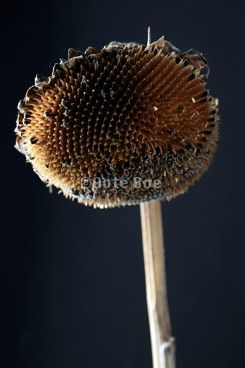 a ripe sunflower head with some missing seeds