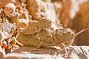 Israel, Hermon Mountain Mating Eyprepocnemis plorans the Male (upper) is much smaller than the female