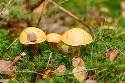 Gele ringboleet, Suillus grevillei