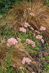 Sedum 'Joyce Henderson' with Carex buchananii